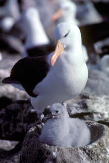 Black Browed Albatross with chick