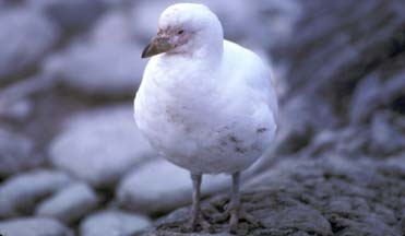 Snowy Sheathbill at Cape Lookout