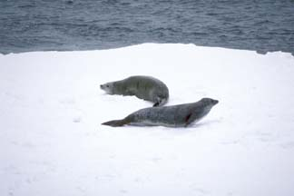 Crabeater Seals in the Weddell Sea