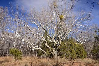 Sycamore Tree, Red Rock State Park, February 9, 2012