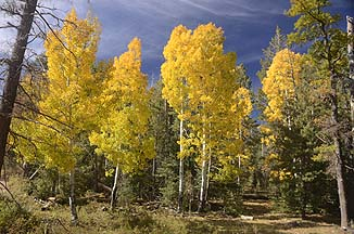 Fall Colors, Mogollon Rim, October 17, 2010