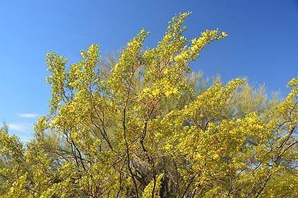 Creosote, McDowell Mountain Regional Park, March 20, 2015