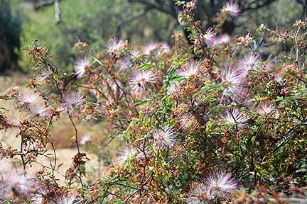 Featherduster, McDowell Mountain Regional Park, March 20, 2015