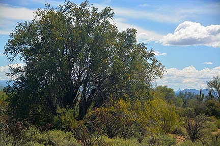 Ironswood Tree, McDowell Mountain Regional Park, March 20, 2015