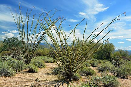 Ocotillo, McDowell Mountain Regional Park, March 20, 2015
