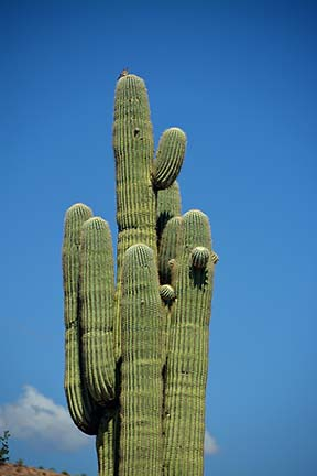 Saguaro, McDowell Mountain Regional Park, March 20, 2015