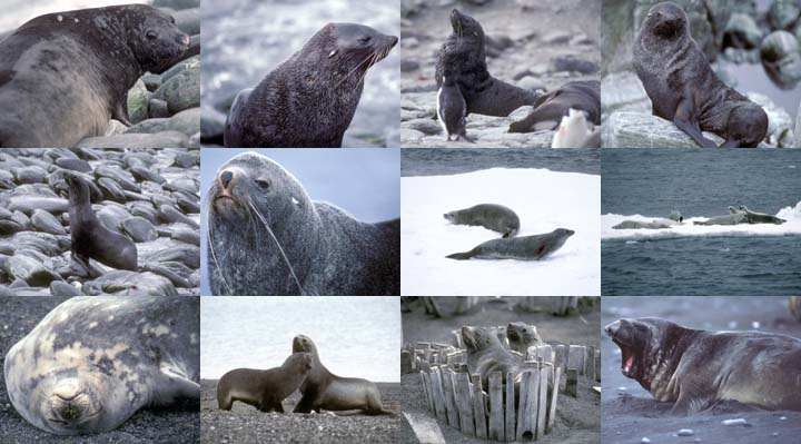 Lockett Books Calendar Catalog: Antarctic Seals